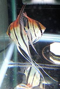 Click image for larger version.  Name:Manacapuru_breeding_pair_2.jpg Views:10 Size:66.9 KB ID:280