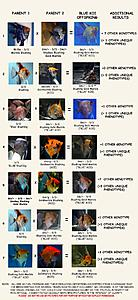 Click image for larger version.  Name:HOW TO MAKE A BLUE KOI. FINAL final 070514.jpg Views:31 Size:106.7 KB ID:221