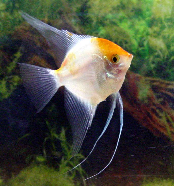 The angelfish society for Freshwater angel fish