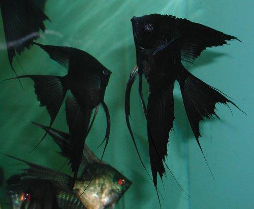 Black Blushing (Black Velvet)