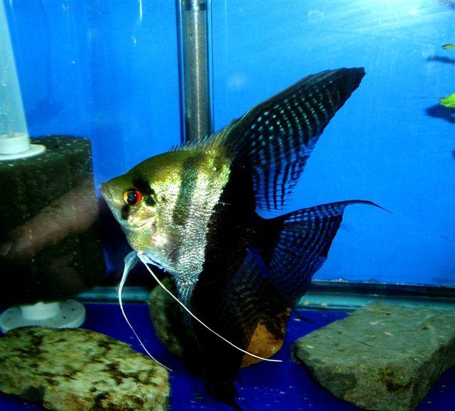 The Angelfish Society - Phenotype Library - Halfblack ...