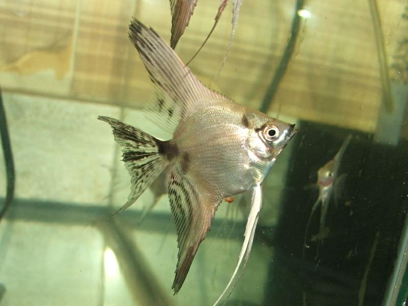The Angelfish Society - Phenotype Library - Silver Ghost ...