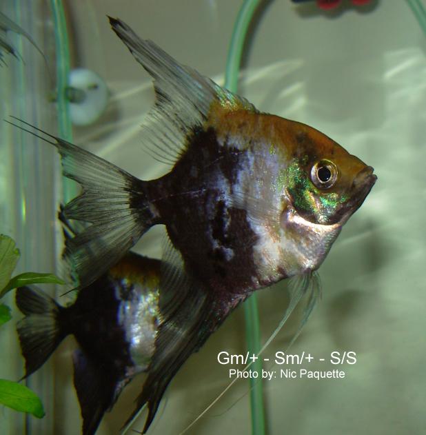 Blue Blushing Angelfish | The Angelfish Society Phenotype Library Smokey Blue Koi