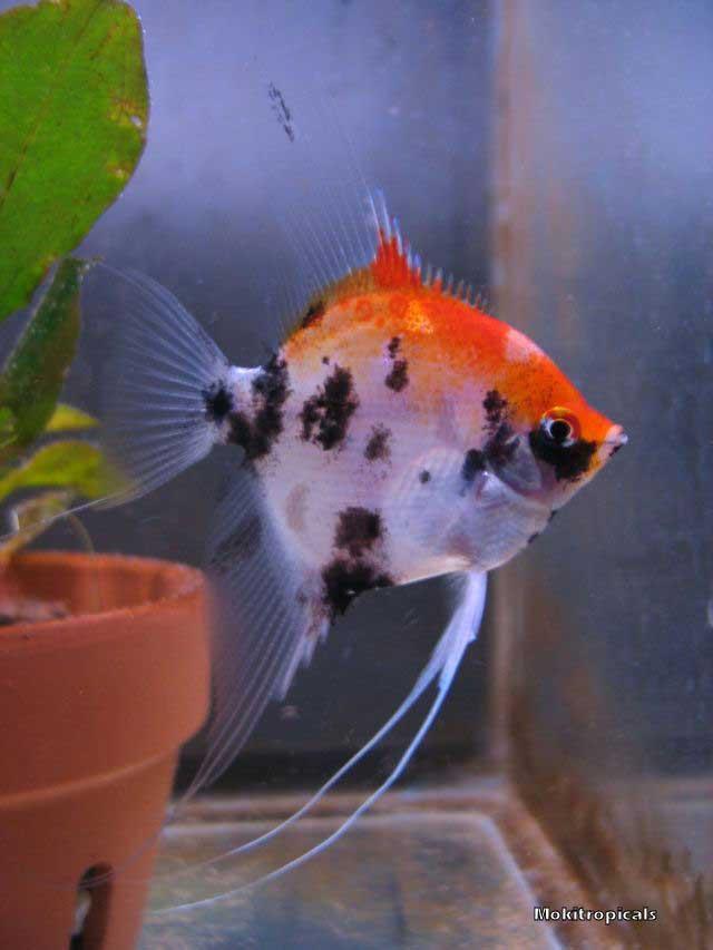 The Angelfish Society