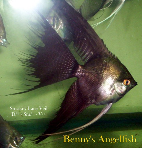 The Angelfish Society - Phenotype Library - Smokey Lace