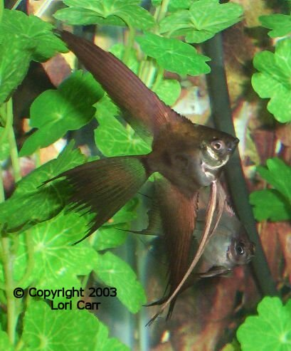 The Angelfish Society Phenotype Library Black Ghost