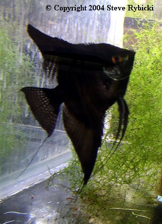 The Angelfish Society Phenotype Library Dark Black