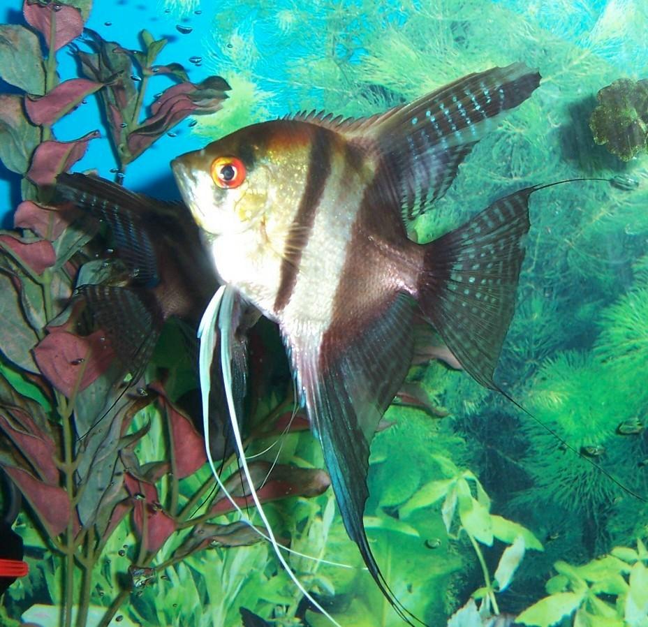 Half Black Angelfish Saltwater