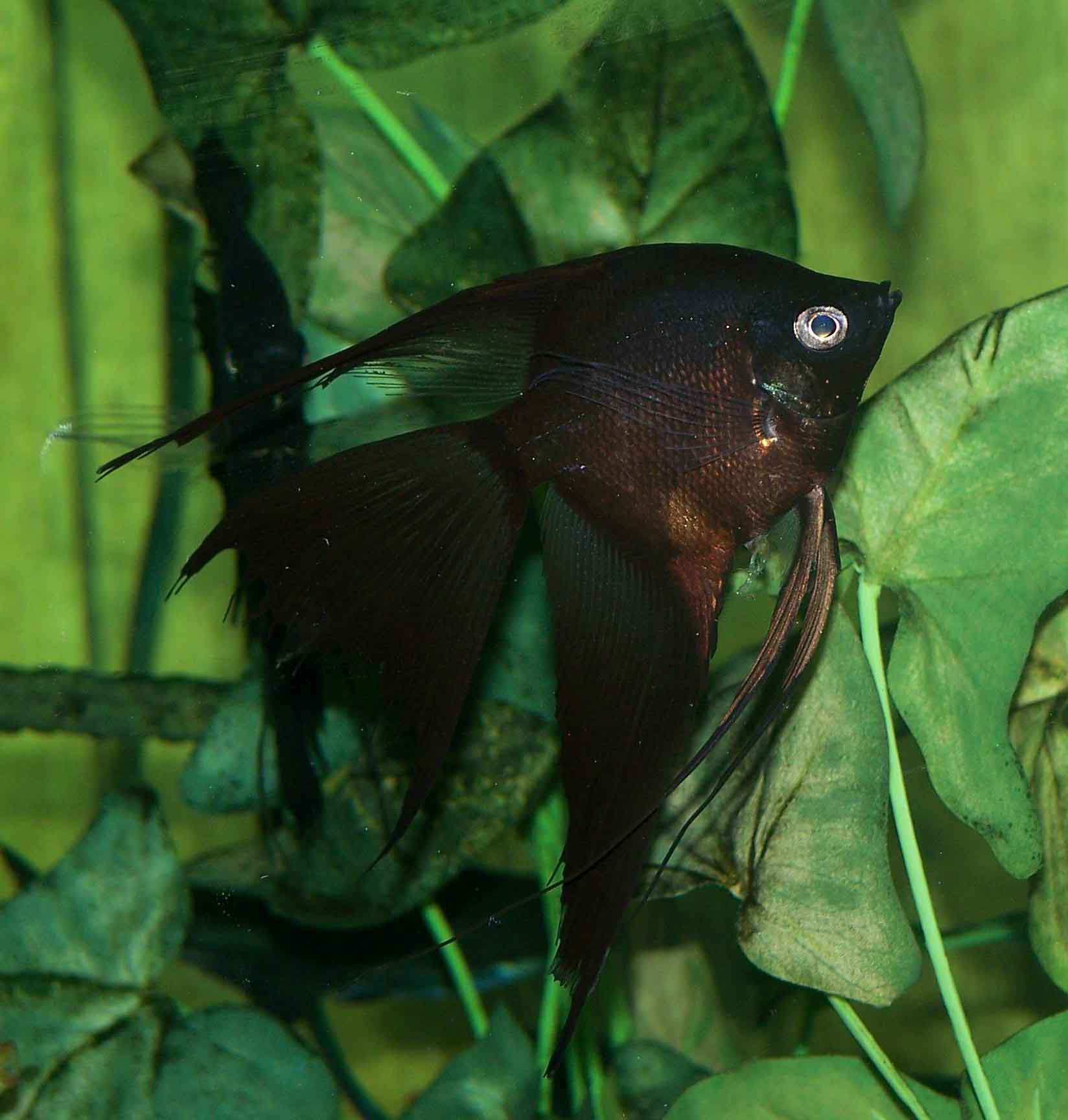 The Angelfish Society - Phenotype Library - Dark - Black