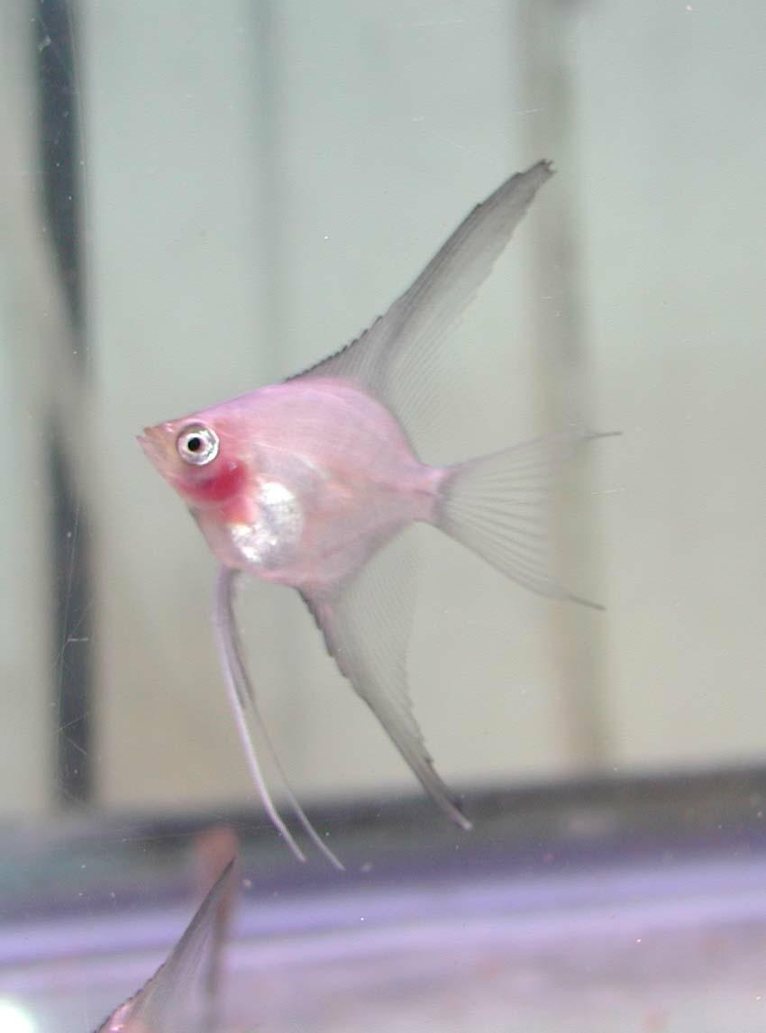 Angelfish Types 2016 247594