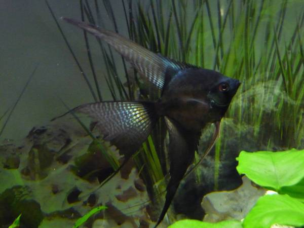 Rainbow, Pinoy wide fin female