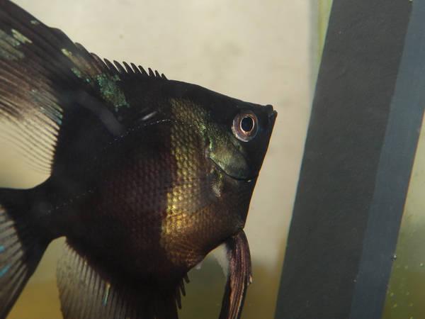 Calender - Pinoy Paraiba Female