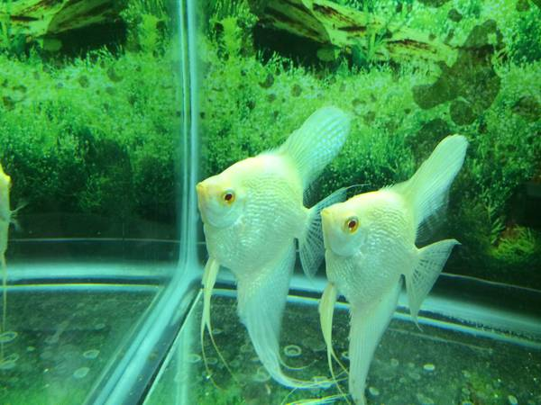 Albino pearlscale